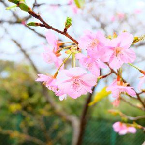 河津桜🌸開花
