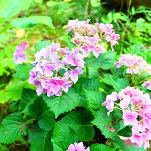新入り紫陽花の色は…